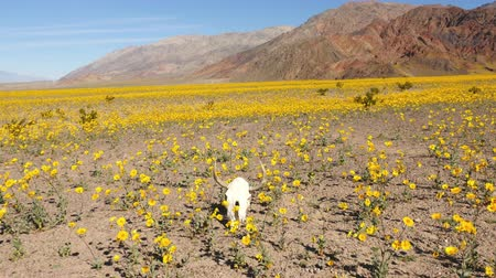 wiese blumen : Dolly von Skull & Desert Flower Super-Blüte in Death Valley Videos