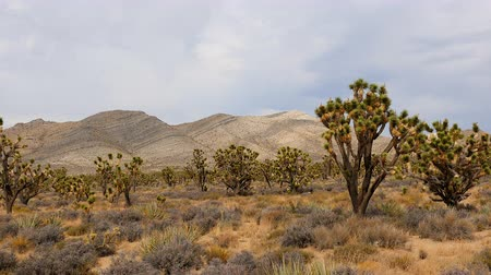 Zoom Out - Joshua Trees in the Scenic Mojave Desert Stock mozgókép