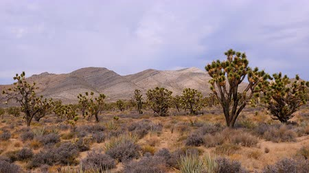 západ : Joshua Trees in the Scenic Mojave Desert