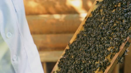 The beekeeper looks after bees, honeycombs, honey. Swarm of bees, bee hive, pure natural product, useful product.