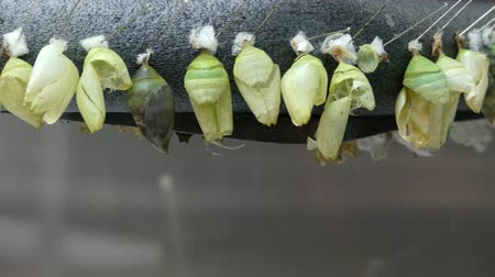 hernyó : Empty butterlies cocoons