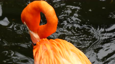 flaming : Flamingo preening plumage Wideo