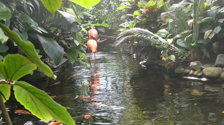 flaming : Rainy tropical creek, two flamingos Wideo
