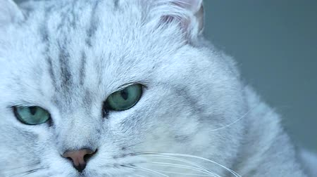 british cat : British chinchilla cat turning head toward camera Stock Footage