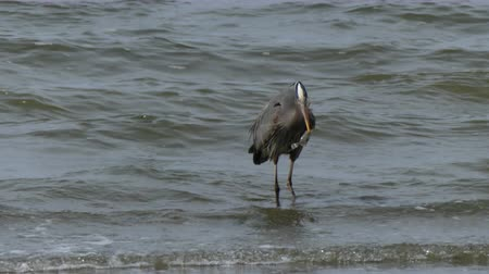 av : Great blue heron wading water Stok Video