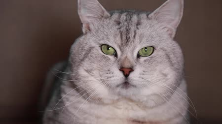 kotki : Portrait british shorthair grey cat