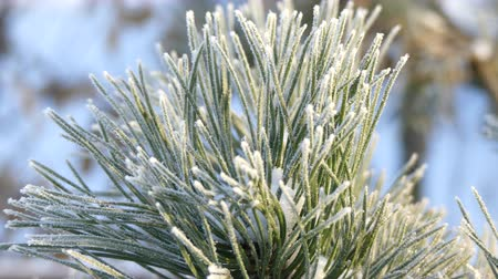 gałązki : Pine needles covered snow