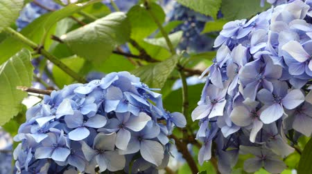 ortanca : Blue hydrangea flowers waving closeup background Stok Video