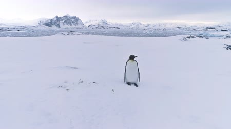 Penguin in Antarctica snow landscape. Epic panoramic overview. Lone standing wild bird King penguin on the Antarctic snow covered mountains background. Amazing polar scene. 4k footage. Стоковые видеозаписи