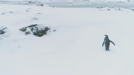 Snow walking King penguin. Antarctica overview on the deep snow covered surface of Antarctic peninsula. Habits of wild animals in harsh polar conditions. 4k footage.