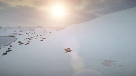 Fur seal moving on snow. Sunset view of Antarctica landscape. Fast walking, running seal on snow, ice covered slope. Group of wild animals next to the frozen polar ocean. Antarctic continent. 4k footage. Wideo