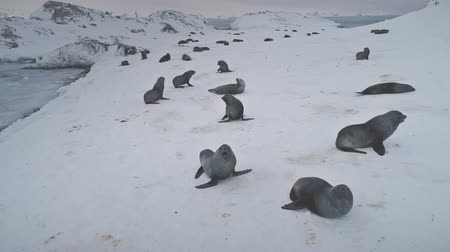 Fur seals group on ice snow land. Antarctica winter landscape. Funny playing wild animals on the frozen land. Polar ocean. Seals habits in wild nature, environment. Antarctic permafrost. 4k footage.