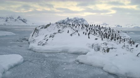 antarktyda : Aerial view of Antarctica penguins colony. Walking activity. Winter frozen landscape. Group of Gentoo penguins stand on ice and snow covered hill in polar ocean. Antarctic wildlife. 4k footage.