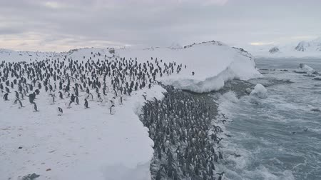 Penguin colony after swimming. Antarctica aerial flight. Overview polar ocean water, snow shore. Large group of Gentoo penguins swims and stands up to the ice frozen coast. Winter shot. 4k footage. Wideo
