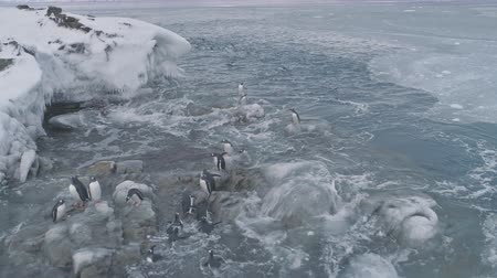 Aerial flight over close-up penguins on ice rocks. Antarctica polar ocean drone shot. Gentoo penguins stand on the ice covered stones, swim in frozen water. Habits of wild animals. 4k footage.