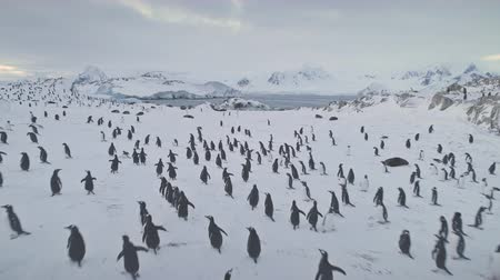Aerial drone flight over penguins, seals. Antarctica wildlife. Overview shot of snow, ice covered land. Polar ocean water, mountains. Antarctic winter landscape. Ice cold. 4k footage.