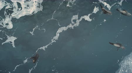 Aerial flight over seals swimming in ocean. Antarctica drone shot. Top down view of polar ocean water. Slow motion overview of wild animal instincts. Marine life of Antarctic continent. 4k footage.