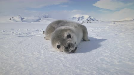 zegel : Close-up Weddell Seal Baby op Antarctica Snow Land. Polar landschap. Leuk Puppy dat op de Bevroren Grond en de Geeuw ligt. Gewoonten van wilde dieren. Antarctisch continent. Grappig schot. 4k-beelden.