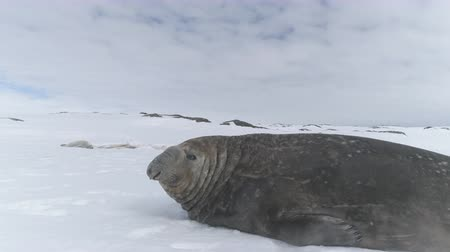 Close-up Elephant Seal Lying On Snow Antarctica Land. Cute Muzzle Of Marine Wild Animal. Behavior Of Large Polar Seals. Snow Covered Surface Of Antarctic Continent. Winter Background. 4k Footage.