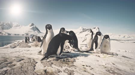 pinguin : Grappige Pinguïngroep op Antarctica Besneeuwd Land. Close-up shot van Adelie Penguins Colony. Gewoonten van wilde dieren. Polar winterlandschap. Bright Sun Over Mighty Mountains. 4k-beelden.