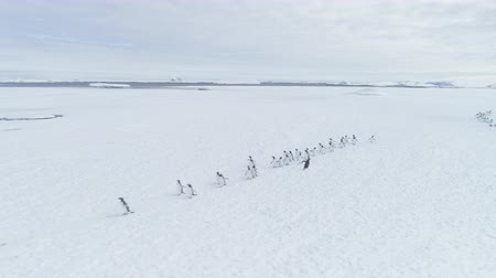Penguins Group On Snow Antarctica Land. Aerial Drone Flight Over Snow Covered Polar Surface. Behavior Of Wild Animals In Harsh Antarctic Environment. White Winter Landscape. Wilderness. 4k Footage.