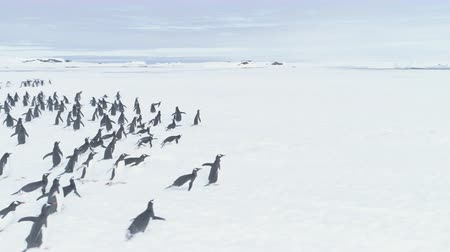 Antarctica Penguins Fast Moving To Vernadsky Station. Aerial Flight Over Running Gentoo Penguins Colony. Drone Turn Overview Shot. Antarctic Polar Base Background. Winter Landscape. 4k Footage.