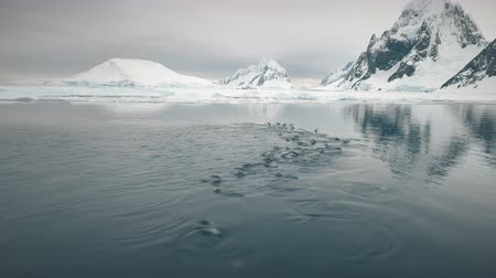 Aerial Flight Over Swimming Penguins. Antarctica Landscape. Drone Shot Of Gentoo Penguins Colony In Cold Polar Ocean Water. Snow Covered Mountains Background. Petermann Island. 4k Footage.