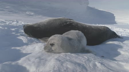 Baby, Adult Weddell Seal Family in Antarctica Close-up Snow Landscape. Puppy Polar Animal Playing Behavior with Mother on Antarctic Frozen Surface. Wild Untouched Nature. Footage shot in 4K (UHD).