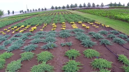 sera : Cultivation of plants panorama, general plan, Garden center, watering plants, growing seedlings Stok Video
