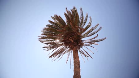 ormanda yaşayan : a ray of sunshine through the palm leaves, palm against the blue sky, the sun shines, crown of palm leaves on a background of blue sky Stok Video