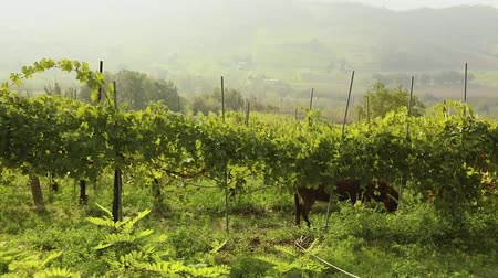 miniatűr : Beautiful panoramic view of the Italian valley with vineyards, a pony eats grapes. panorama Stock mozgókép