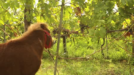 zwierzeta : Beautiful brown pony eats grapes, Pony eats grapes on a vineyard in italy, close-up