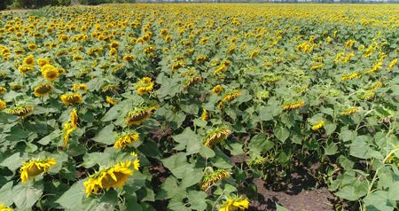 подсолнухи : Sunflower on the field, Aerial view, Along the rows, flight, view from above, a lot of plants, movement