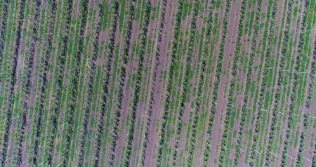 jabłka : A view of the seedlings of trees from the air, flying over tree seedlings, a garden center, a young apple garden on the field, Rows of tree saplings in the Young apple garden, 4k, aerial