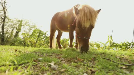 koń : brown little horse grazes on a meadow, little horse eats grass, close-up, brown pony