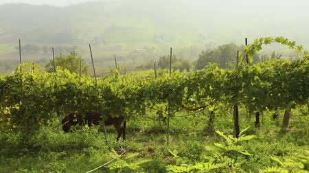 Beautiful panoramic view of the Italian valley with vineyards, a pony eats grapes. panorama Wideo