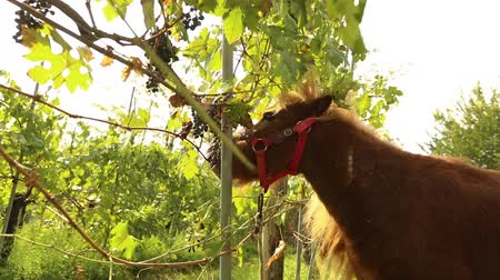 Beautiful brown horse eats grapes, Pony eats grapes on a vineyard in italy, close-up