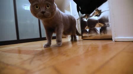 šatník : British cat in the room, Gray British cat in the apartment, Scottish cat walks around the room, sneaks along the corridor, looking at the camera, close-up