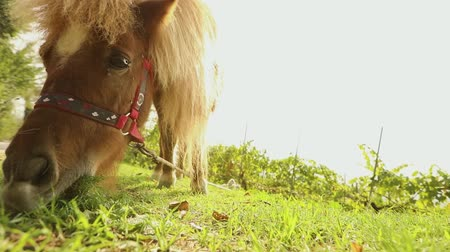 shetland : brown pony is eating grass in the back of the camera, pony is eating grass, close-up