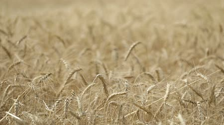 szalma : Yellow ears wheat sway in the wind, the background field of ripe ears of wheat, Harvest, Wheat growing on field, video, Close-up, side view Stock mozgókép