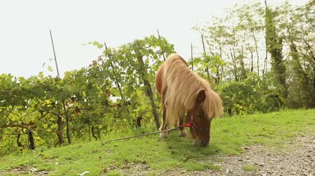 pónei : brown pony grazes on a meadow, pony eats grass, close-up