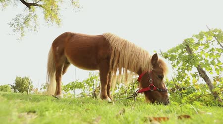 pastar : brown pony grazes on a meadow, pony eats grass, close-up