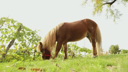 shetland : brown little horse grazes on a meadow, little horse eats grass, close-up, brown pony