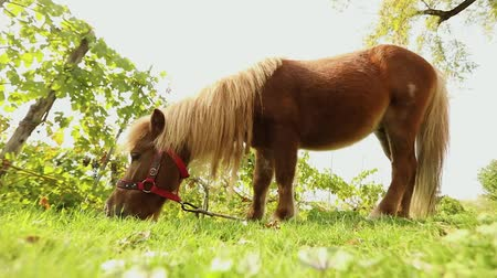 пони : brown little horse grazes on a meadow, little horse eats grass, close-up, brown pony