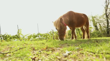 konie : Brown little horse grazes on a meadow, little horse eats grass, brown pony
