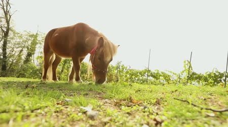 pastar : brown little horse grazes on a meadow, little horse eats grass, close-up, brown pony