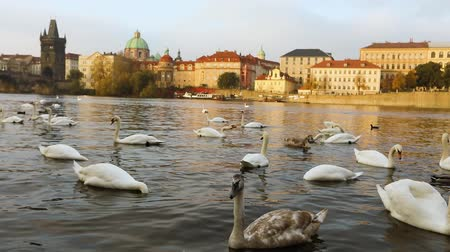 čeština : Swans on the Vltava River, Swans in Prague, panoramic view, wide angle, view of the old town and Charles Bridge across the Vltava River in Prague