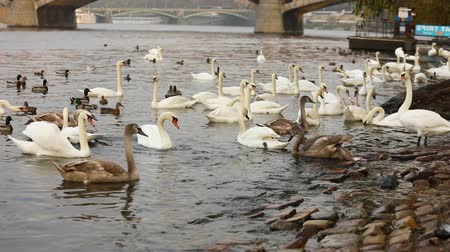 prag : Swans on the Vltava River, Swans in Prague, panoramic view, wide angle, view of the old town and Charles Bridge across the Vltava River in Prague