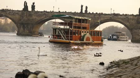çek cumhuriyeti : Swans on the Vltava River, Swans in Prague, The sightseeing boat is floating on the Vltava River, view of the old Charles Bridge in Prague Stok Video