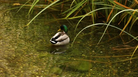 ornitologie : A wild duck in a pond, a pond with wild ducks in a city park, ducks in water of lake, drake, close-up